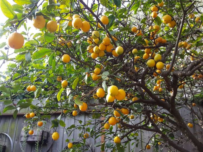 The understory of an old Meyer Lemon tree that is chock full of beautiful yellow/orange lemons. The trees foliage is lacking an excess of leaves but it is making up for it in fruit. Behind the tree is a wood fence which has three wooden planter boxes attached to it with various succulents flowing over and out of the planter.