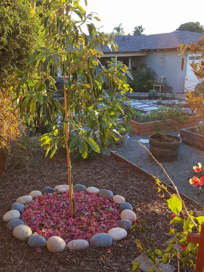 A newly planted avocado tree is enjoying the golden evening sun rays. The tree is surround by a rock ring made out of river rocks and it is mulched with pink leaves from a nearby bougainvillea. In the background are raised beds for vegetables and a small tree in a half wine barrel container. There is a house even further behind as the backdrop where there is a tall Japanese Aralia next to an old chair that has succulents planted in it.