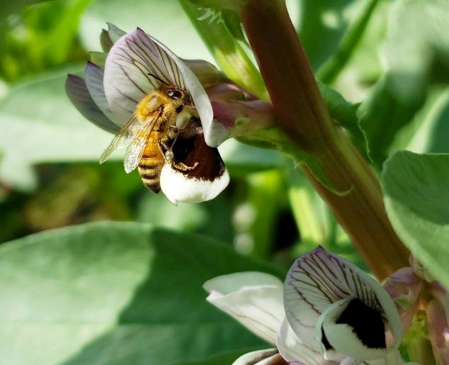 A close up image of a fava bean flower that has a honey bee latched onto it collecting pollen. The flower is white with purplish veins.