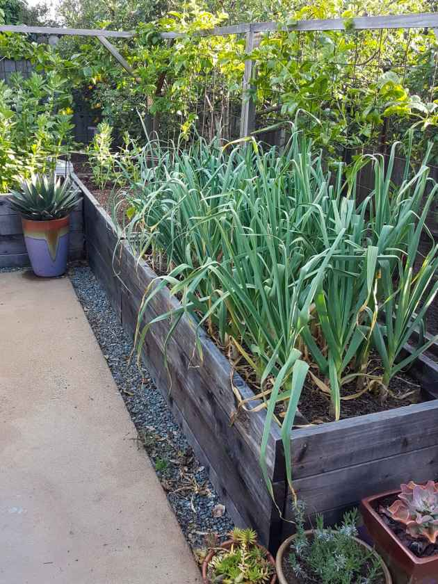 A raised garden bed full of maturing garlic, the plants have long green strands of leaves and the main garlic bulb is hidden under the soil surface. There is an agave in a ceramic pot in the corner where there is another garden bed which contains tall spikes of fava bean greens that is teeing into the garlic raised bed. There are various trees and shrubs planted outside of the garden bed area in the background.
