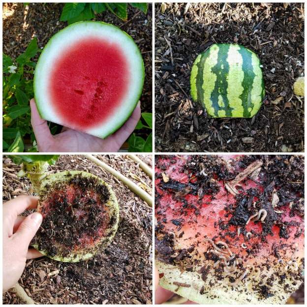 A four way image collage, the first image shows a hand holding a slice of watermelon rind, there is still some red  flesh attached to it, there are various plants below the outstretched melon as if the photo was taken above a garden bed looking down. The second image shows the watermelon rind, flesh side down on the soil surface. The third image is a hand holding up the melon rind from the soil surface. You can vaguely make out the fact that there are bugs now on the flesh. The fourth image is a close up of the melon flesh where you can make out that there are at least 20 millipedes and soil bits on the flesh of the melon.