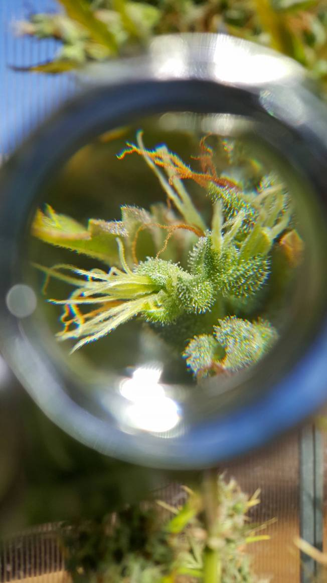 A close up image of a growing cannabis flower through the scope of a jewelers loupe, there are some white pistils as well as orange pistils, the trichomes appear to be mostly clear, showing that the flower is not ready for harvest.