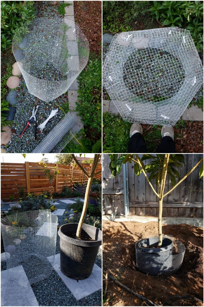 A four way image collage, the first image shows the supplies needed to make a gopher basket. There is a cylinder made of hardware cloth, zip ties, wire snips, and an extra roll of hardware cloth. The second image shows the cylinder now has a bottom piece of hardware cloth attached to it, making it only accessible from the top opening. The third image shows the completed gopher basket sitting next to a tree in a 15 gallon nursery pot, it also displays that the gopher basket is a good deal larger than the nursery pot and trees root ball. The fourth image shows a newly dug hole with the gopher basket inserted into the hole and the tree still inside the nursery pot sitting inside the basket. This was only for illustrative purposes and the tree was removed from the pot before planting.