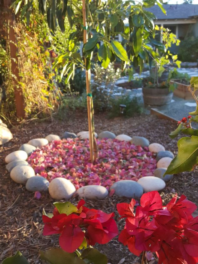 The bottom third of a newly planted avocado tree is shown, the tree has been mulched with bougainvillea flowers and leaves. There is a river rock ring around the tree for decorative purposes. The background has various trees and plants that aren't distinguishable.