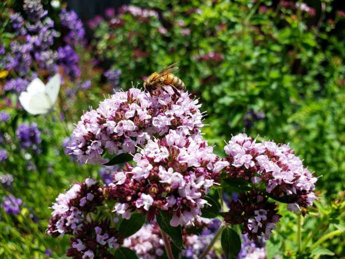 A bee is perched on top of Italian Oregano blooms, which are very small light pink-purple clusters of flowers.