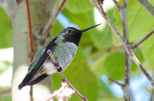 A close up of an Anna's Hummingbird perched in a tree. The small bird has a black face, grey chest, white butt, and green on its back and sides, with a long slender black beak.