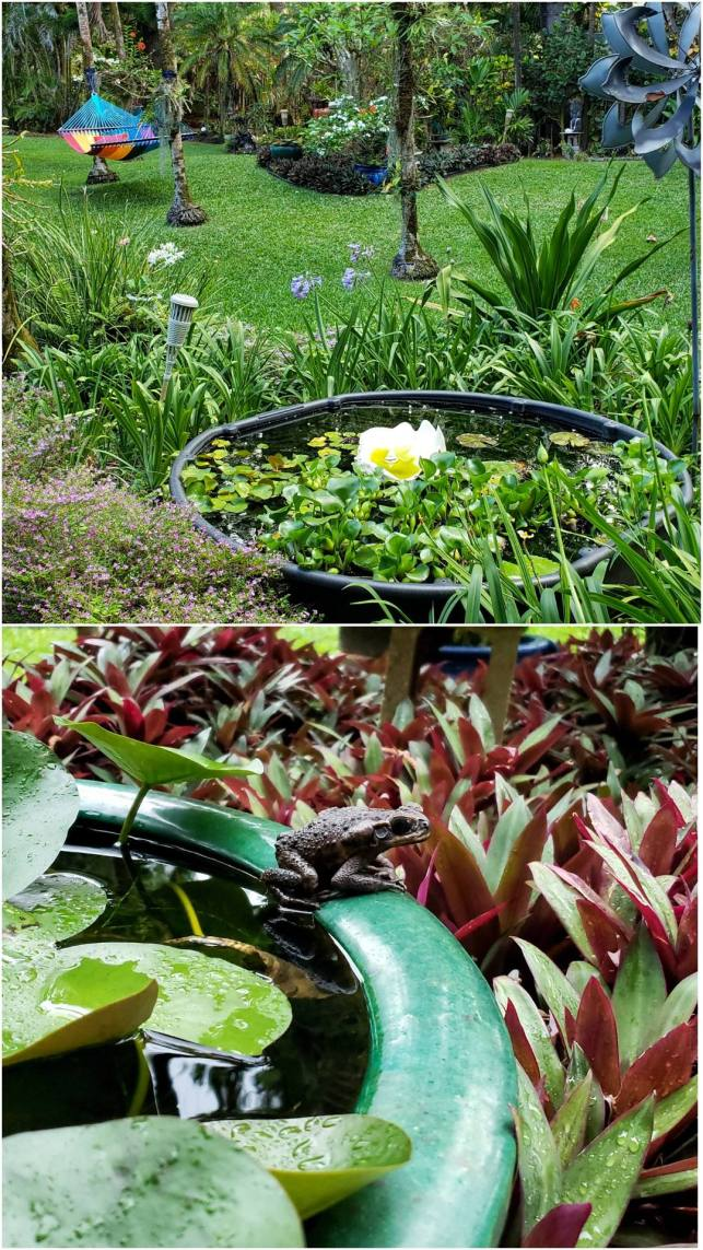 A two part image collage, the first image shows a lush and tropical yard with bromeliads, orchids, and various palms. In amongst one cluster of plants is a black tub full of water with lily pads floating on top, frogs use this as a sanctuary. The second image shows a closeup of a pot filled with water and there is a toad sitting on the edge of the pot. There are various lily and bromeliad surrounding the frog and there are water droplets visible on the plants.  One key aspect of being is certified wildlife habitat is providing sources of water.