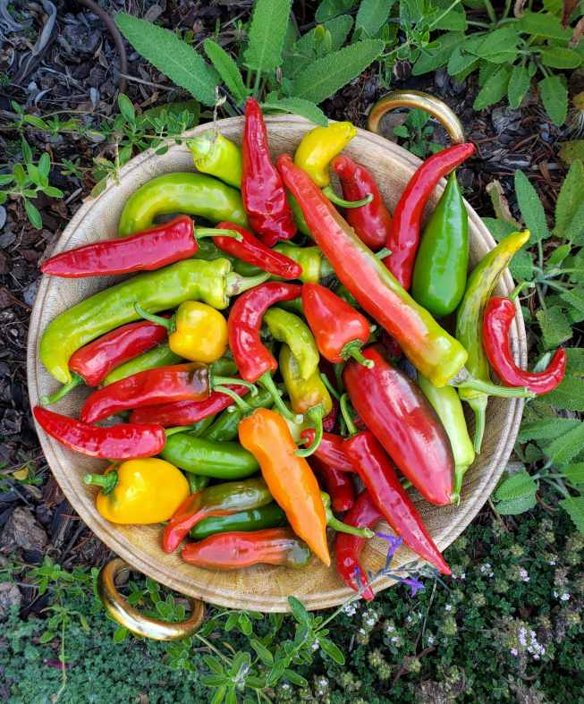 A wooden bowl of chilis is sitting on the ground amongst bark mulch and living plants such as thyme, salvia, and sage. The chilis range in color  from bright red, green, yellow, and orange to an even more muted shades of the same colors. The sizes and shapes also vary from long, short, skinny, fat, straight, hooked, and slight variations of them all.