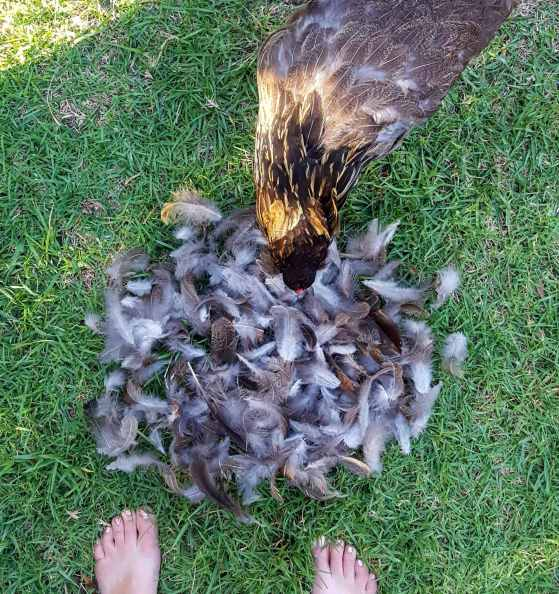 Looking down at two feet, with a large pile of brown and white feathers piled in front of the feet on grass. A brown molting chicken that appears to be missing feathers is peering over the pile of collected feathers too.