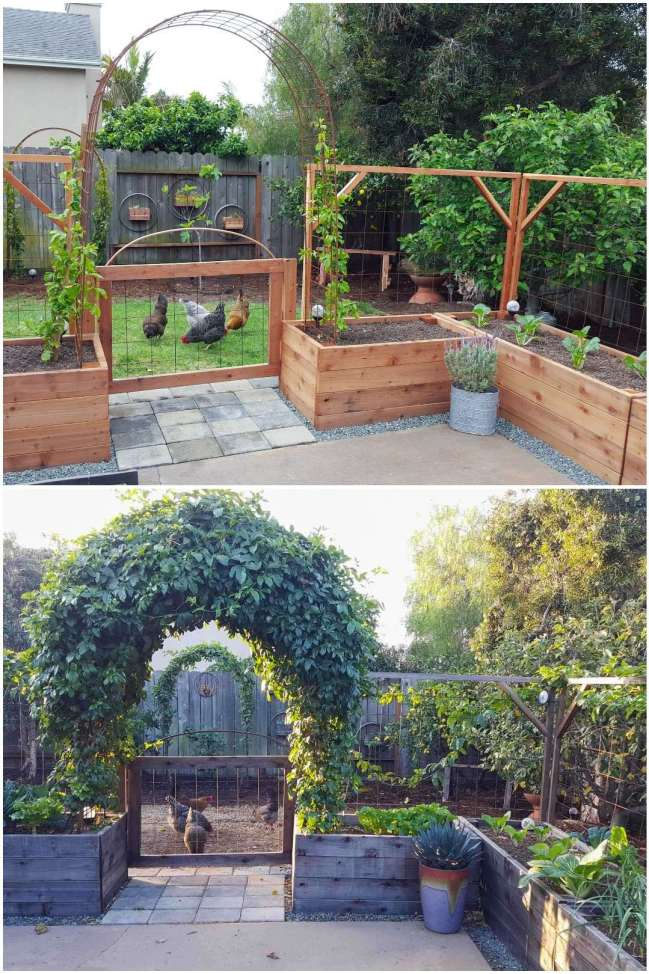 A two part before and after image, the first image shows a newly constructed patio garden where raised wooden garden beds are placed around the outside edge of a concrete patio. The walkway to the backyard has a separation between two garden beds that is lined with stone pavers. There is a gate that is attached to the closest garden beds to help keep out the chickens which are in the grass just beyond the gate itself. The walkway is also underneath an arch that was placed in each of the two closest garden beds. There is a young passion fruit vine planted on each end of the arch, soon it will be a covered arched walkway. The second image shows the same image after it has been allowed to grow in after several years. The archway is now lush and green and it is very full. Just beyond the archway, there is another arch along the fence line that has tow young passion vines growing in the same manner. There are chickens outside the inner garden area with various plants and trees growing in and around the area.