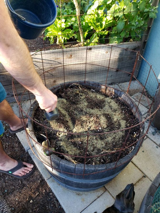 A man is standing over an empty half wine barrel full of soil. He is fertilizing the soil with amendments which are visible on the soil surface. The wine barrel has wire fencing attached to the top of the barrel and is lined with bird netting to keep the backyard chickens out of the growing space. The tail end of one can be seen in the lower right of the image.