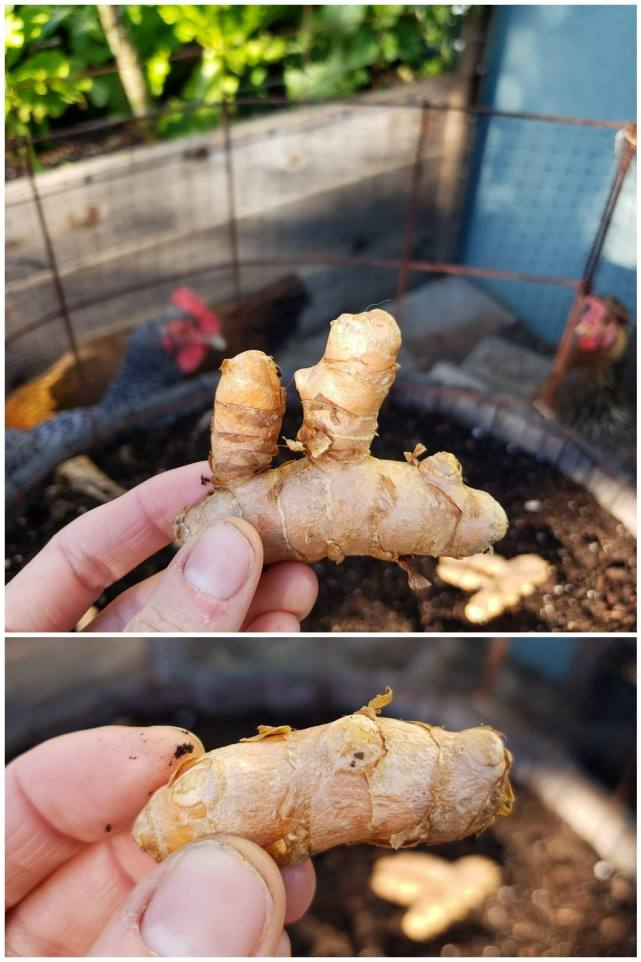 A two part image collage, the first image is a hand holding a turmeric seed rhizome with the sprouting nub sites pointing upwards. The half wine barrel of prepared soil is in the background below where another seed rhizome is already laid out on the soils surface. Two chickens can be seen peeking through the bird netting trying to get a good look. The second image shows a hand holding another seed rhizome with less obvious sprouting nubs, however, it is illustrating that they are still viable sprouting sites.