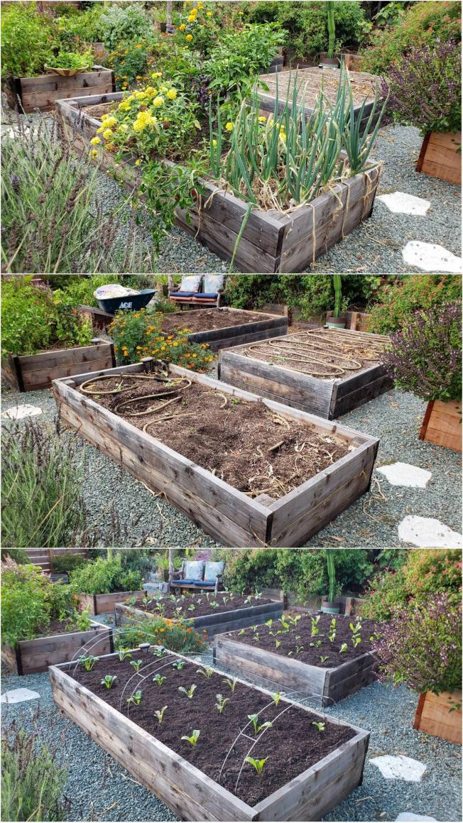 A three way image collage, all three images show the same raised garden bed as the feature with various other raised garden beds around it. The first image shows the featured bed with peppers, basil, and onions growing in it. Most of the plants look to be towards the latter half of their life. The second image shows the featured bed empty, after the plants have been cut out at the soil line. The soaker hose snaked along the inside of the bed is the only thing left aside from the soil itself. The third image shows the bed after it has been planted out with fresh winter vegetable seedlings and topped with an inch or two of compost. There are metal hoops that are arched over the bed incase row covers are needed to keep the birds out of the fall garden.