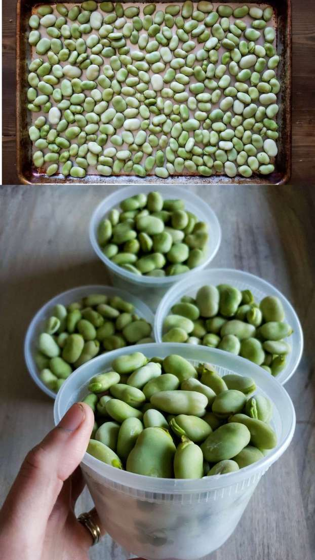 A two part image collage, the first image shows fava beans that have been removed from their pods. They are evenly arranged on a baking sheet that will soon be placed in the freezer. Freezing them in this manner will keep them from freezing and sticking together. The second image is a close up of a hand holding a 16 oz BPA free plastic container full of frozen fava beans. There are three of the same containers in the background also full of fava beans. They are frozen and each bean can move freely from the others, allowing you to take out as little or as much as needed.