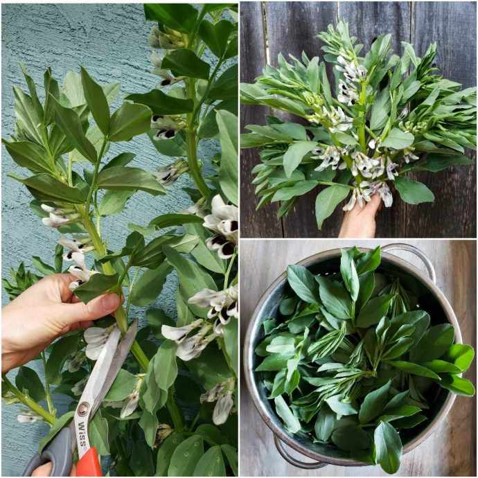 A three part image collage, the first image shows a hand holding a stalk of a fava plant. In the other hand is a pair of scissors which have their cutting shears wrapped around a portion of the stalk. The tender tips are  being harvested to eat and encourage the fava plant to become more bushy. The second image is a hand holding a number of freshly harvested fava greens as one would a bouquet of flowers, the greens are harvested from the top six to twelve inches of the growing end. The third image shows a metal stainless steel colander full of tender fava green foliage, it can be eaten fresh, cooked, or made into pesto.