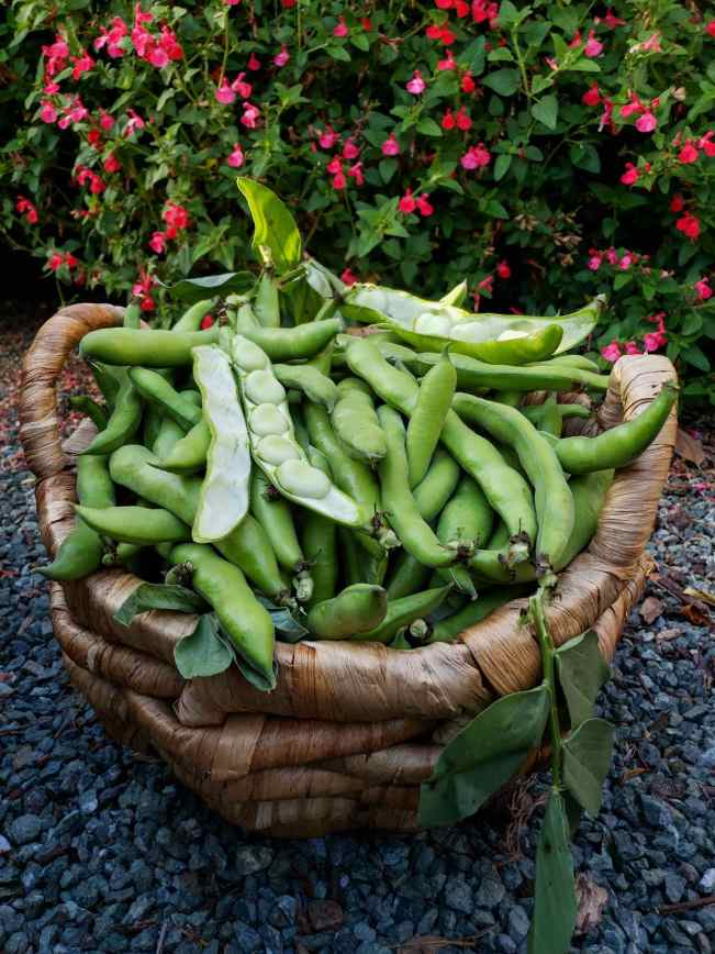 A wicker basket is shown overflowing with Windsor fava beans. A few of the pods have been sliced in half lengthwise to show the beans that are residing within. Some of the pods still have stems and leaves attached to them. The basket is sitting on a green rock landscape with a flowering watermelon salvia in the background. Showing and equal amount of dark green foliage and bright pink flowers.