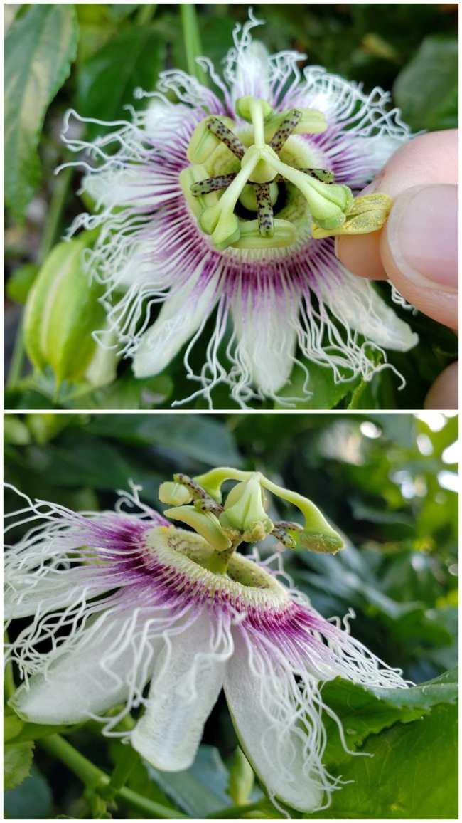 A two part image collage, the first image is a close up of a passion fruit flower, a hand has removed the anther from the flower and is depositing the pollen by rubbing it directly on the stigma. The second image shows the flower from the side after it has been pollinated, yellow pollen is visible on the undersides of two of the stigmas.