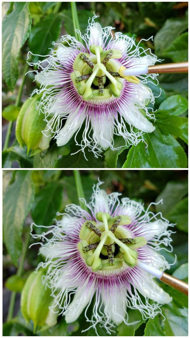 A two part image collage, the first image shows a close up of a passion fruit flower. A paint brush has an anther facing upside down and is collecting the yellow pollen from its underside. The second image shows the same flower with the paint brush brushing the pollen on the underside of the stigma.