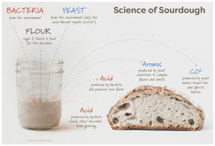 A picture shows a jar of sourdough starter on the left and a loaf of bread that has been cut in half on the right. It  depicts bacteria, yeast, and flour and what those items together provide for a baked loaf of bread which is acid, carbon dioxide and aromas.