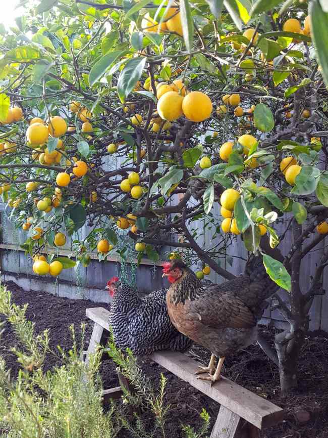 The understory of a lemon tree is shown, it is loaded with dark golden fruit. Below the tree is a wooden sawhorse and two chickens are resting peacefully on it.