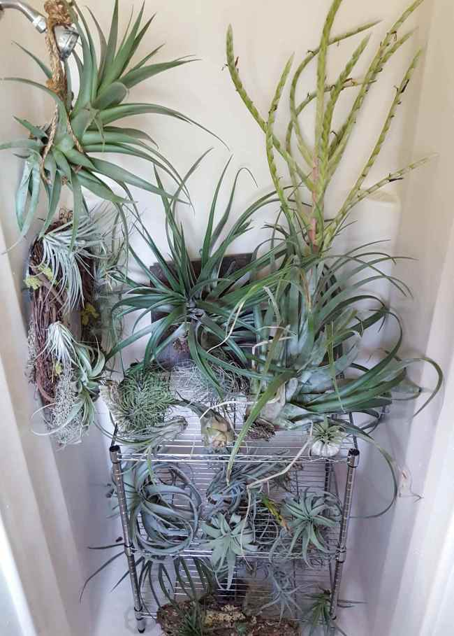 Various air plants of all shapes and sizes, some are attached to wooden wreaths or wood placards are sitting inside of a small shower on a stainless steel metro rack of sorts. This is the perfect place to water your air plants with the least amount of fuss and mess.
