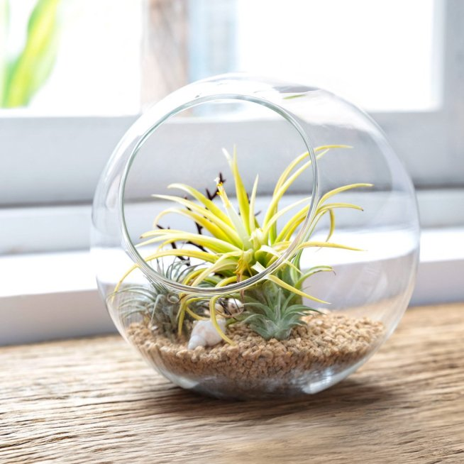 A glass sphere terrarium is shown with rocks on the bottom that have three or four various air plants arranged on top of the rocks, a sea shell has been thrown into the mix which finishes the sea or beach motif which is present in the arrangement.