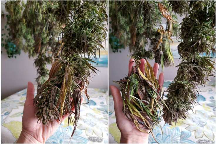 A two part image collage, the first image shows a hand holding a large cannabis flower that is hanging to dry. Many fan leaves are hanging over the flower bud. The second image shows a hand holding the removed fan leaves, the large flower is hanging nearby looking great after its quick trim.