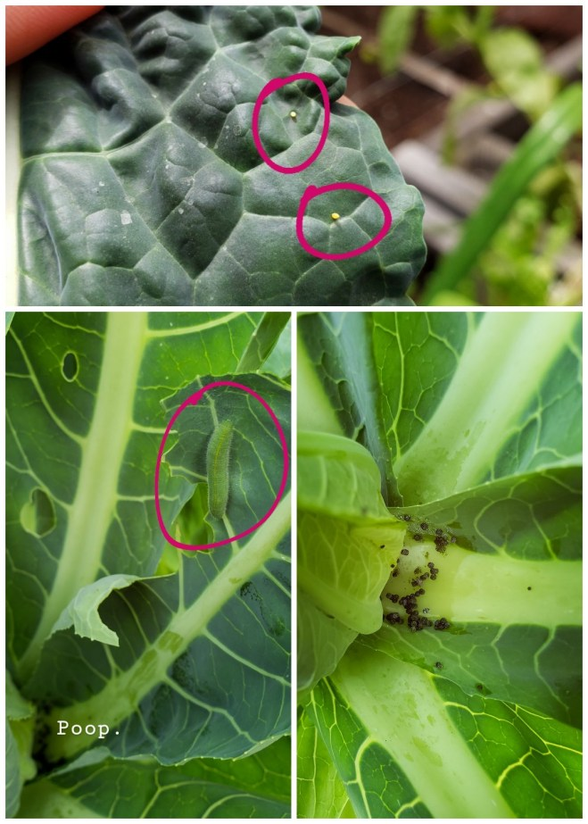 A three way image collage, the first image shows a kale leaf with two cabbage white butterfly eggs on it. They are slightly more yellowish orange, and indication that it will soon hatch. Each egg has been circled purple using a paint app. during editing to highlight the egg. The second image shows the inside of a cauliflower plant, there is a cabbage white caterpillar attached on one of the leaves eating away. It has also been circled purple to highlight the caterpillar and how it camouflages against the plants leaves. The third image shows the inside of a cauliflower plant and the caterpillar poop that has collected in the bottom of it. If you see poop, a caterpillar is usually near.