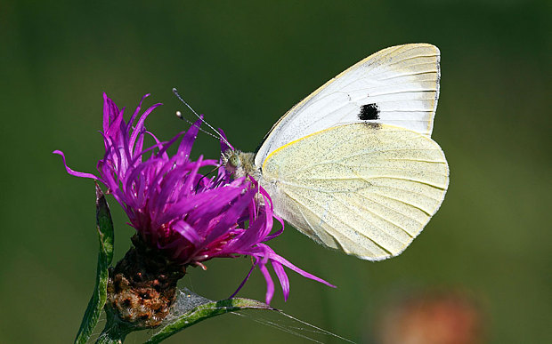 A cabbage white butterfly is feeding on a purple flower in the sunlight. The background is blurry green while the flower and butterfly are in focus.