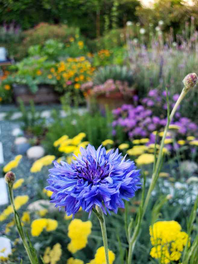 A close up image of a blue bachelor's button flower shown in the full sun. In the background there are yellow yarrow, scabiosa, lavender, salvia, sage, marigold, calendula, and oregano.