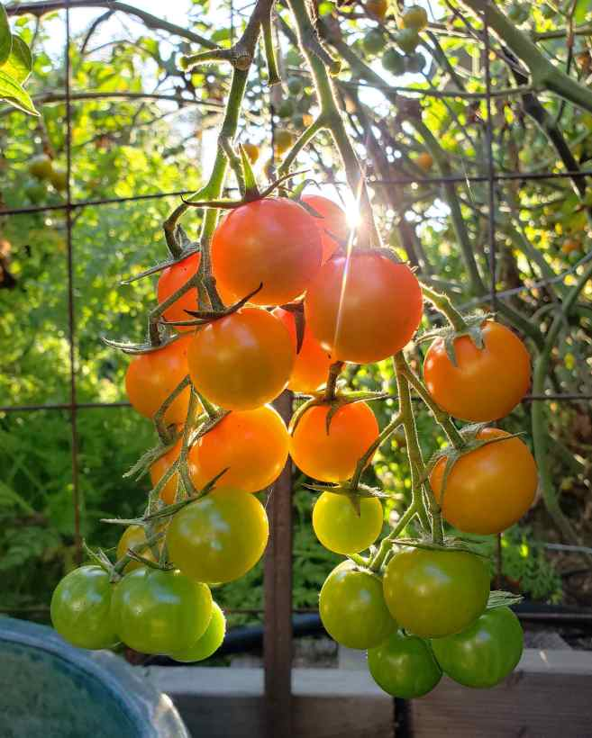 A cluster of Sungold tomatoes is shown glistening with the streaking sun behind them. The tomatoes at the top of the cluster are dark orange while the ones in the middle are a lighter orange and the tomatoes on the bottom of the cluster are greenish yellow in color.