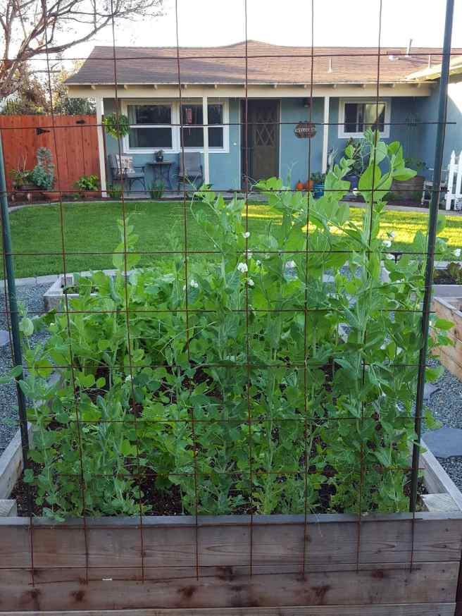 Concrete remesh used as a structure for climbing plants to grow on. It is attached to the backside of a garden bed and has climbing green beans growing up it.