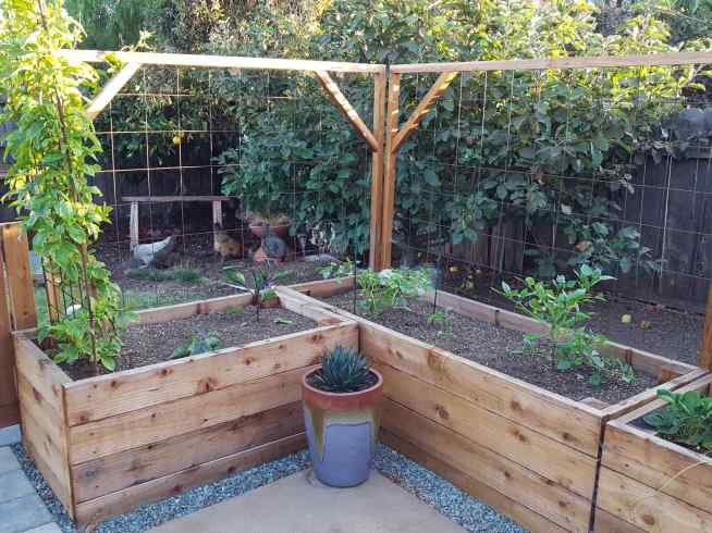 Raised wooden garden beds are shown with a trellis built on the backside of them, they are used to train plants up the trellis or to help keep the chickens out of the patio. There are various plants in the beds and a small blue glow agave in a ceramic pot.
