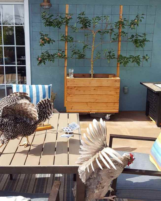 A small raised bed planter box is shown with a trellis attached to the backside of the box. There is an espaliered apple tree in the planter and it is being trained along the remesh wire. In the foreground there are two chickens who are in the process of jumping on or off the patio table.