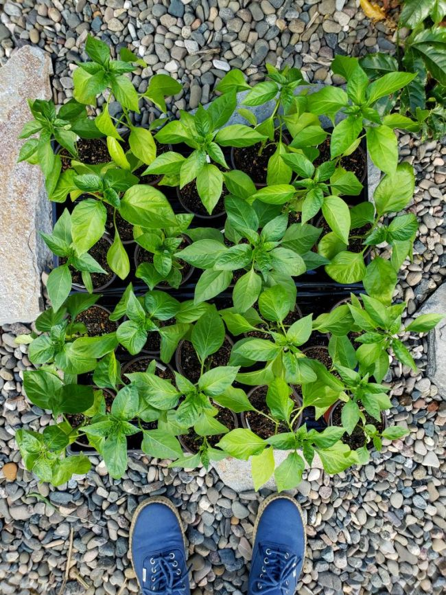 A birds eye view of two trays of tomato and pepper seedlings that are ready to be transplanted outside into garden beds or containers.