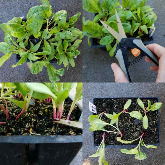 """A four way image collage, the first image shows a 6 cell pack of tender seedlings a couple weeks after germination. The second image shows a hand holding a pair of trimming scissors in front of the seedling cell pack which is over crowded with young seedlings. The third image shows a closeup of the scissors cutting specific at the soil line to """"thin"""" the cell packs down to one plant per cell. The fourth image shows the seedling cell pack after thinning with only one plant left per cell."""