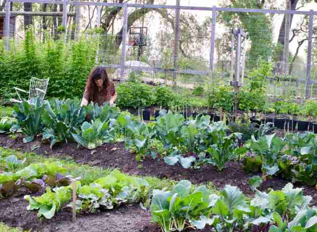 Meg from @seedtofork, kneeling down in her in-ground garden. There are many brassica vegetables and lettuces growing in neat patches of soil.  In-ground gardens can have just as many benefits as raised garden beds.