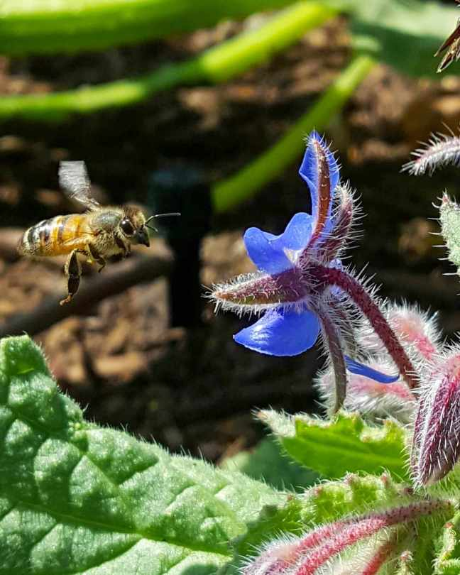 A bee is shown mid flight on its way to a borage flower that is only an inch away. Some of the plants green leaves are visible below while there are some pre flowers that have yet to open which are pink before they turn bluish purple once opened.