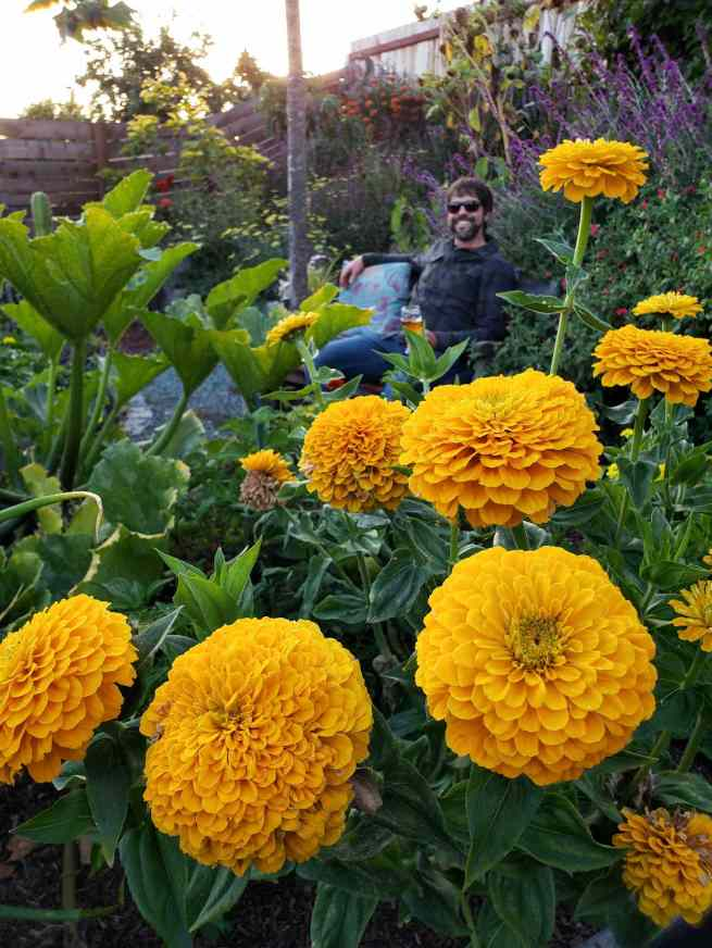 Pillowy golden zinnias are in the foreground, a man is sitting on a bench in the background smiling at the view of flowering plants all around. There are squash plants, sage, salvia, as well as various trees throughout the image.