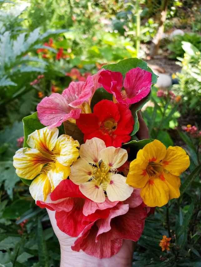 A hand is holding various nasturtium flowers, the colors range from pink to yellow to red and pink. The background shows the nasturtium plants themselves as well as a leaf from an artichoke plant.