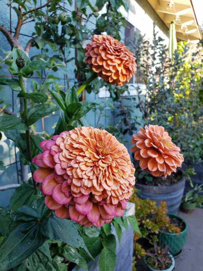 Pink salmon hued zinnias are growing in front of an espaliered apple tree. Some of the blooms are starting to age and wilt, while one is still a compact green bud which will flower within a few days. There are various potted plants around on the ground in the area.