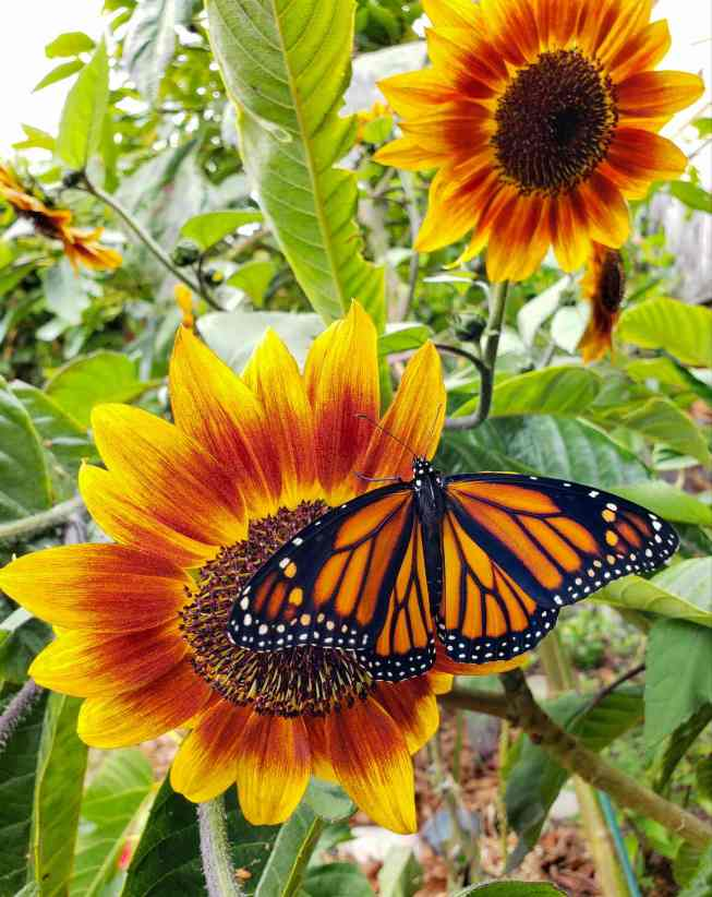 Orange-yellow hued sunflowers are shown growing amongst a loquat tree. There is a Monarch butterfly hanging out on the flower which is the focus of the image.