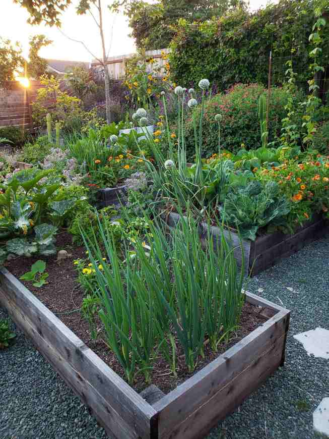Three raised wooden garden beds are shown overflowing with vegetables and flowers of many types. Green plants and orange, red, purple, pink, and yellow flowers. There are trees, shrubs, and vines surrounding the area and the setting sun is still barely shining over the slotted horizontal fence before it dips below the horizon.