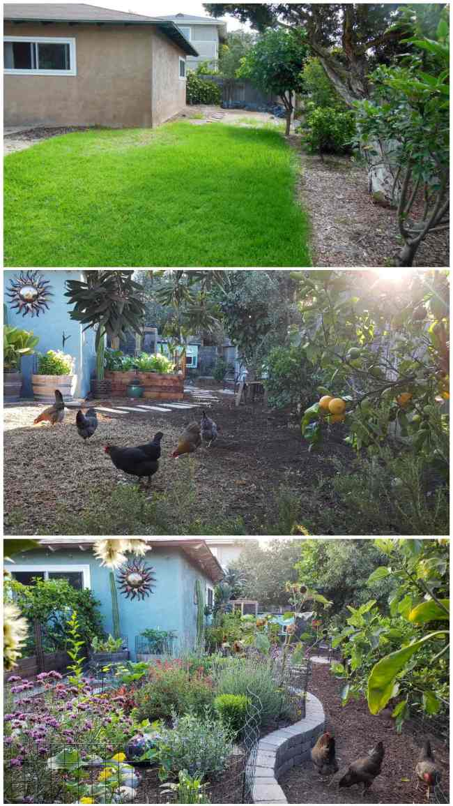 Three part image collage of the backyard facing the coop garden. The first image shows the yard shortly after purchasing the home, there is a lot of grass and dirt and a few trees along the perimeter of the yard. The second image shows the same part of the yard after the chicken coop and coop garden had been built. there are five chickens picking around the dying grass in the foreground. In the distance the coop garden beds are visible as well as the chicken coop itself. The third image shows the same as before, yet the grass has been removed and a large stone lined island has been constructed. In the middle of the stone island there are many perennial and annual flowers growing while the chickens are outside of the area picking around at the ground. Some of the patio garden is visible as there is a vine growing along the trellis on the backside of the garden beds.