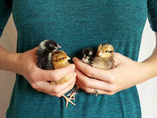 DeannaCat is cradling four chicks between two hands and hers torso. Two of the chicks are golden brown in color while the other two are black and white. Chickens can be an important step when deciding to start a homestead.