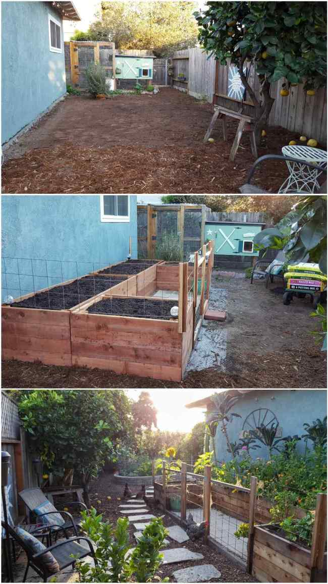 A three part image collage of the coop garden area during its second renovation. The first image shows coop garden after the original garden beds have been removed, a large swathe of area has been leveled and raked clear of debris. The second image shows the garden after the new garden beds have been constructed and installed. They four beds were positioned in a U-shape next to the side of the house, there are trellises on the beds and a small fence and gate on the front side of the beds to keep the chickens out. The beds are full of soil and ready for plants. The third image shows the same coop garden from the opposite direction, the beds are overflowing with flowers and kale, the sun is shining through the trees and there are four chickens pecking around the outside of the garden area.