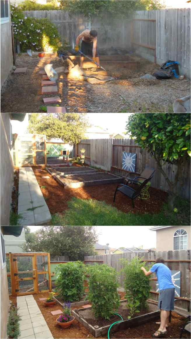 A three part image collage of the process of starting the original coop garden. The first image shows Aaron digging out a place for the garden beds in the ground. There is not coop or chickens yet. The second image shows the coop garden after the chicken coop and run have been built. The garden beds are shown full of soil but devoid of plants. There are two adirondack chairs nearby for relaxing and enjoying the space. The third image shows the same space after tomatoes have been planted out and have grown for multiple months. Aaron is inspecting one of the tomato plants which is almost as tall as him.