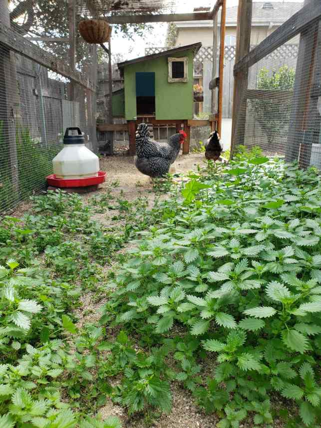 The stinging nettle growing in the chicken run is shown, there are two chickens on the far side of the nettle with their coop in the background.
