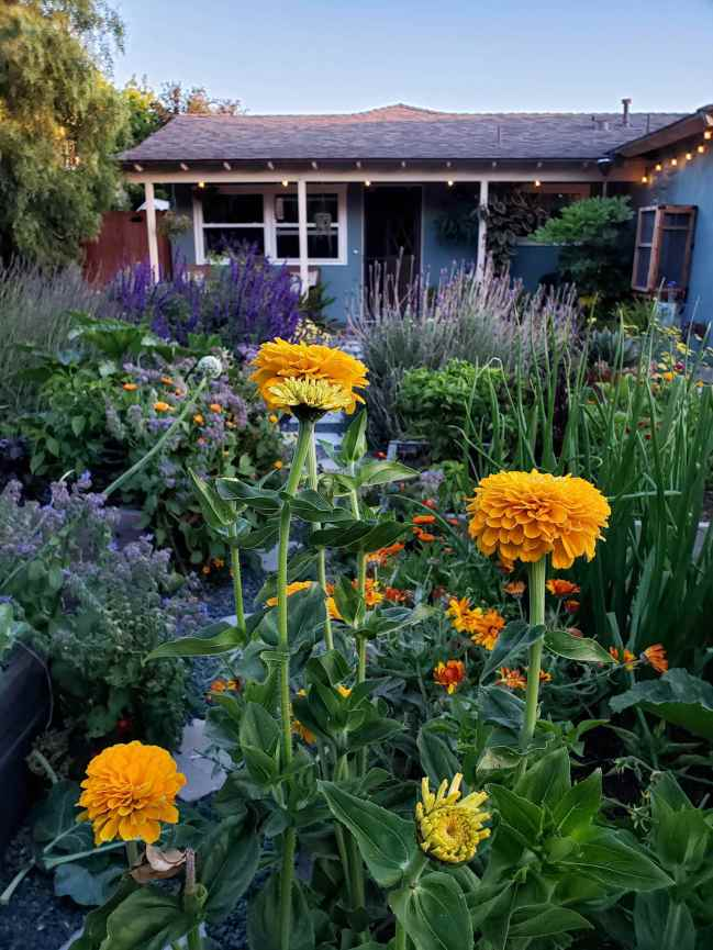 """An image taken at dusk, there are tall pillowy golden zinnia flowers in the foreground, they lead to a sea of marigolds, borage, onions, squash peppers calendula as well as lavender, salvia, yarrow, and agave. Some are planted in garden beds that are somewhat visible, while others were planted directly in the ground in specific pollinator """"islands"""". In the furthest back sits a house that is blue green in color, a California pepper tree sits to the left and the tip portion of the roof still has a small amount of sun on it before its descent."""