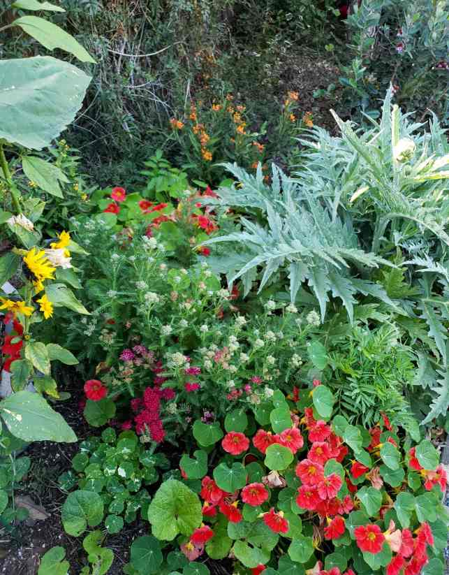 A sea of green with purple, pink, yellow, and orange flowers.  There are yarrow plants, calendula, nasturtium, marigolds, and sunflowers planted around a nearby artichoke plant.